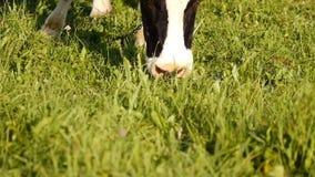 Pâturages de vaches dans le domaine banque de vidéos