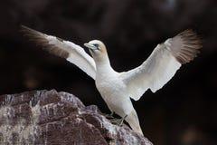 Północny gannet zbliżenie, bas rockowa kolonia fotografia stock