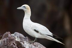 Północny gannet zbliżenie, bas rockowa kolonia zdjęcie royalty free