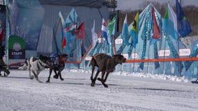 Półwysep Kamczatka dzieciaków rywalizacji Psi sanie Ściga się Dyulin Beringia zbiory wideo