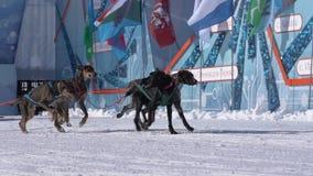 Półwysep Kamczatka dzieciaków rywalizacji sania Psia rasa Dyulin Beringia zdjęcie wideo