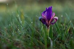 Púmila ris  цветка à с падениями росы в диком стоковая фотография