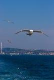 Pão de travamento da gaivota fotografia de stock