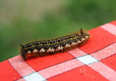 Päls- Caterpillar Royaltyfri Fotografi