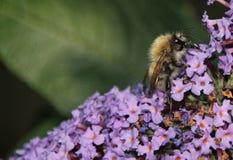 Päls- Honey Bee på lilablommor som dricker nektar Arkivfoto