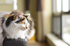 Päls- inhemsk katt på soffan royaltyfria bilder
