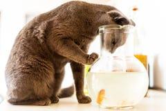 Päls- katt som ser in i den röda fiskbunken i hem med dagsljus Arkivfoton