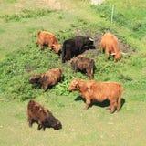 Päls- kor och tjurar Arkivfoto