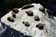 Pälsskyddsremsa - nyazeeländskt djurliv NZ NZL royaltyfri foto