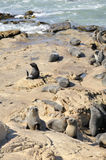 Pälsskyddsremsa på Rocks, New Zealand Royaltyfri Foto