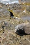Pälsskyddsremsa på Rocks, New Zealand Royaltyfri Bild