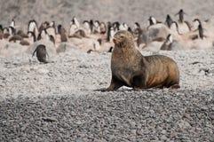 Pälsskyddsremsa på stranden nära pingvin, Antarktis Arkivfoto