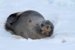 Pälsskyddsremsa som ligger på isen av den antarktiska stranden Royaltyfria Foton