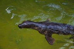 Pälsskyddsremsan simmar i havsvatten royaltyfria foton
