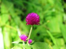Pärl- evigt, Bachelor& x27; s-knapp, knappagaga, jordklotamaranth, medicinalväxter Royaltyfri Fotografi