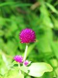 Pärl- evigt, Bachelor& x27; s-knapp, knappagaga, jordklotamaranth, medicinalväxter Royaltyfria Foton