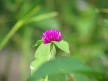 Pärl- evigt, Bachelor& x27; s-knappen, knappagagaen, jordklotamaranthen, fullvuxet enkelt för medicinalväxter och blommar en lång Arkivfoto