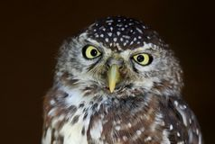 Pärla-prickiga Owl Bird Fotografering för Bildbyråer