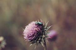 P?rlaskalbaggen fl?g p? en stor knopp av en l?s blomma royaltyfri fotografi