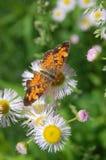 Pärlemorfärg Crescent Butterfly arkivbild