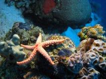 pärlemorfärg havsstjärna för halsband Arkivfoton