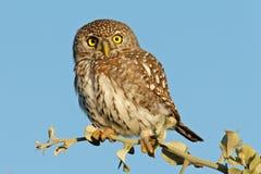 pärlemorfärg prickigt för owl Royaltyfri Foto