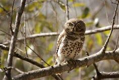 pärlemorfärg prickigt för owlet Arkivfoton