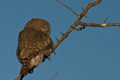 pärlemorfärg prickigt för owlet Arkivbild