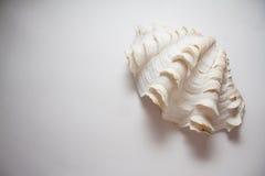 Pärlemorfärg skal fotografering för bildbyråer