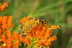 Pärlemorfärg växande fjärilar på milkweedväxten Royaltyfri Foto