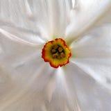 Pärlemorfärg vit pingstlilja Arkivfoto