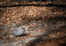 Pärlhöns i vinterskog Royaltyfri Foto
