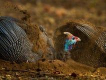 Pärlhöns som tar ett dammbad Royaltyfri Foto
