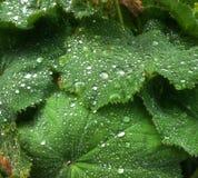 Pärlor av vatten på leaves Royaltyfria Foton