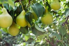 Päron - fruktträdgård Arkivfoton