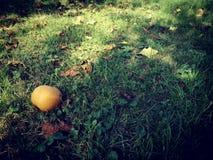 Päron i höstträdgården royaltyfri foto