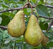 Päron på en filial Royaltyfria Foton