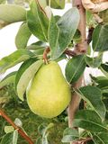 Päron på ett träd Arkivbilder