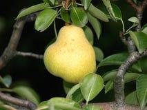Päron på ett träd Royaltyfria Foton