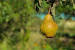 Päron på ett träd Royaltyfri Bild