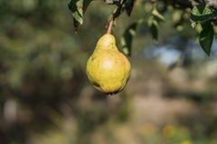 Päron på ett träd Arkivfoton