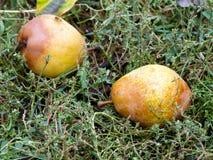 Päron på gräset Fotografering för Bildbyråer