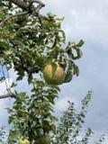 Päron på trädfilialer Royaltyfri Foto