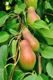 Päron på växa för träd Royaltyfri Fotografi