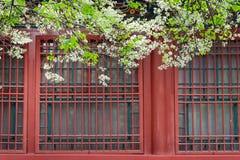 Päronblomman blommar framme av kinesiskt trärött fönster för traditionell byggnad royaltyfri foto