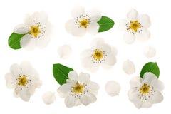 Päronblommor som isoleras på vit bakgrund Top beskådar Lekmanna- lägenhet Uppsättning eller samling Arkivfoto
