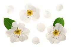 Päronblommor som isoleras på vit bakgrund Top beskådar Lekmanna- lägenhet Uppsättning eller samling Royaltyfria Foton