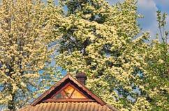 Päronblomning i den tidiga våren, härligt träd som täckas med vita blommor arkivfoto