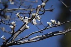 Päronblomningar Fotografering för Bildbyråer