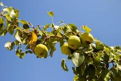 Päronen på trädet som ett symbol av landslivet Fotografering för Bildbyråer